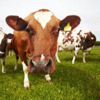 Cow-Photo-4